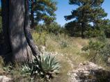 Unique desert and mounain vegetation combinations such as New Mexico Agave, Alligator Juniper and Ponderosa Pine are common on the high ridges of the Guadalupes.