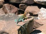 Yellow-headed collared lizard.