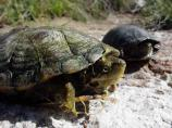 Sonora mud turtles at Montezuma Well are in trouble. Through the years people have released red-eared sliders, a turtle commonly sold in pet stores, into the waters of the Well. The National Park Service is currently conducting an ambitious project to remove and relocate these invasive turtles from Montezuma Well and protect the health of this unique aquatic ecosystem and aid the survival of the native mud turtles.