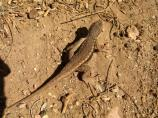 Plateau lizards are identifiable by the broad, dark stripe running down their sides.
