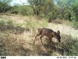 MOWE Wildlife Cam - White Tail Deer Fawn