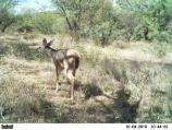 Montezuma Well Wildlife Camera - White Tail Deer 1