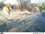 MOWE Wildlife Cam - White Tail Buck
