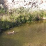 Two ducks sunning on a rock inside Montezuma Well, with reeds and grass behind at the water's edge.