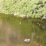 Ducks in Montezuma Well, four of them tail in the air, one sitting on a white, square, floating trap.