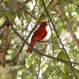 A red bird with no crown sitting on a small branch.
