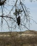 A nesting pair of Common Blackhawks are frequently observed hunting for aquatic animals along Beaver Creek at Montezuma Well.