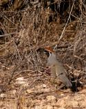 The colorful male Gambel's Quail uses his bright plumage and head tuft to attract the attention of females. His loud, nasally