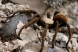 Desert Tarantulas have an undeserved reputation for being dangerous. In fact, these shy, but large spiders are practically harmless. While they do possess venom, and can inflict a painful bite with their large fangs, it is no more toxic than a normal honeybee sting.