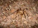 Despite their appearance, tarantulas are very docile animals, however you should never try and handle one because their bite is poisonous.