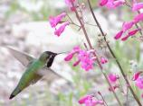 Costa's hummingbirds are year-round residents.