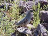 Gambel's quail can be seen all year round. Long lines of young quail are often hatched in the spring.