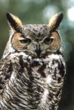 The Great Horned Owl is one of the most commonly seen owls in the desert southwest.