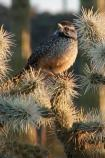 By far the most hostile element in the sonoran desert, the cholla cactus will