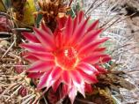 The bright red flowers of the Emory's Barrel Cactus (Ferocactus emoryi) are a sight to behold in the middle of summer.