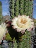 The Organ Pipe Cactus (Stenocereus thurberi) has a beautiful flower, but you better get up early to see it for the flowers of this night blooming cactus usually close up by 8:30 in the morning.