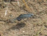 The Quitobaquito Pupfish is an endangered resident of Organ Pipe Cactus National Monument. The only place in the world where it can be found is Quitobaquito.