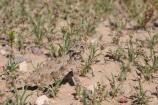 This Horned Lizard blends in perfectly in its surroundings.