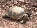The Desert Tortoise is one of the more fascinating residents of the desert. This one was checking us out as we took it picture.