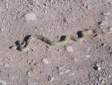 Gopher Snakes, which often get confused for rattlesnakes, are relatively common non-poisonous residents of Organ Pipe.