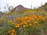 Srping color at Organ Pipe Cactus National Monument