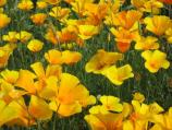 Spring flowers, like these Mexican Gold Poppies, erupt in Feburary and March.