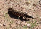 In the summer, the desert comes alive with reptiles, like this Gila Monster, moving out in the open. A patient and lucky visitor might spot one on their exploration of the monument.