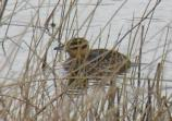 This rare masked duck was sighted along the road to Bird Island Basin.