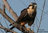 The Northern Aplomado Falcon is listed as endangered on both federal and Texas lists.