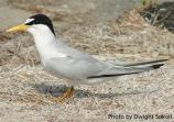The Interior Least Tern is listed on both federal and Texas lists as endangered.