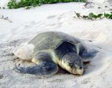 Kemp's ridleys are the smallest of the sea turtles, reaching only about 100 lbs. in weight.