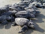 Hatchlings are lined up facing the sun at releases. Movement by one then stimulates the others into moving.