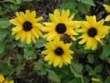 Cucumber-leaved sunflowers are common around the Malaquite Visitor Center.