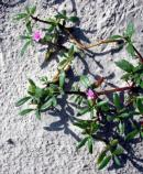 Sea purslane is adapted to only a narrow range of salinity in the air and therefore grows in a narrow band down the length of the island. It is usually the closest plant to the breaking surf.
