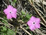 Five-pointed phlox is a small plant; each of these blossoms was about the size of a nickel.