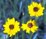 Coreopsis can be found around Bird Island Basin, where it can nearly cover the ground in yellow patches.