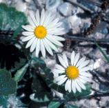 Daisies derive their name from the