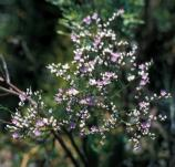 Sea lavender does not occur near most places easily accessible to the public in the park.