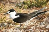 Sooty terns are uncommon at the National Seashore, but do occur here.