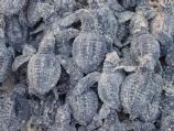 Kemp's ridley hatchlings 1