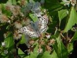 Butterfly with wings spread rests on a flowering plant.