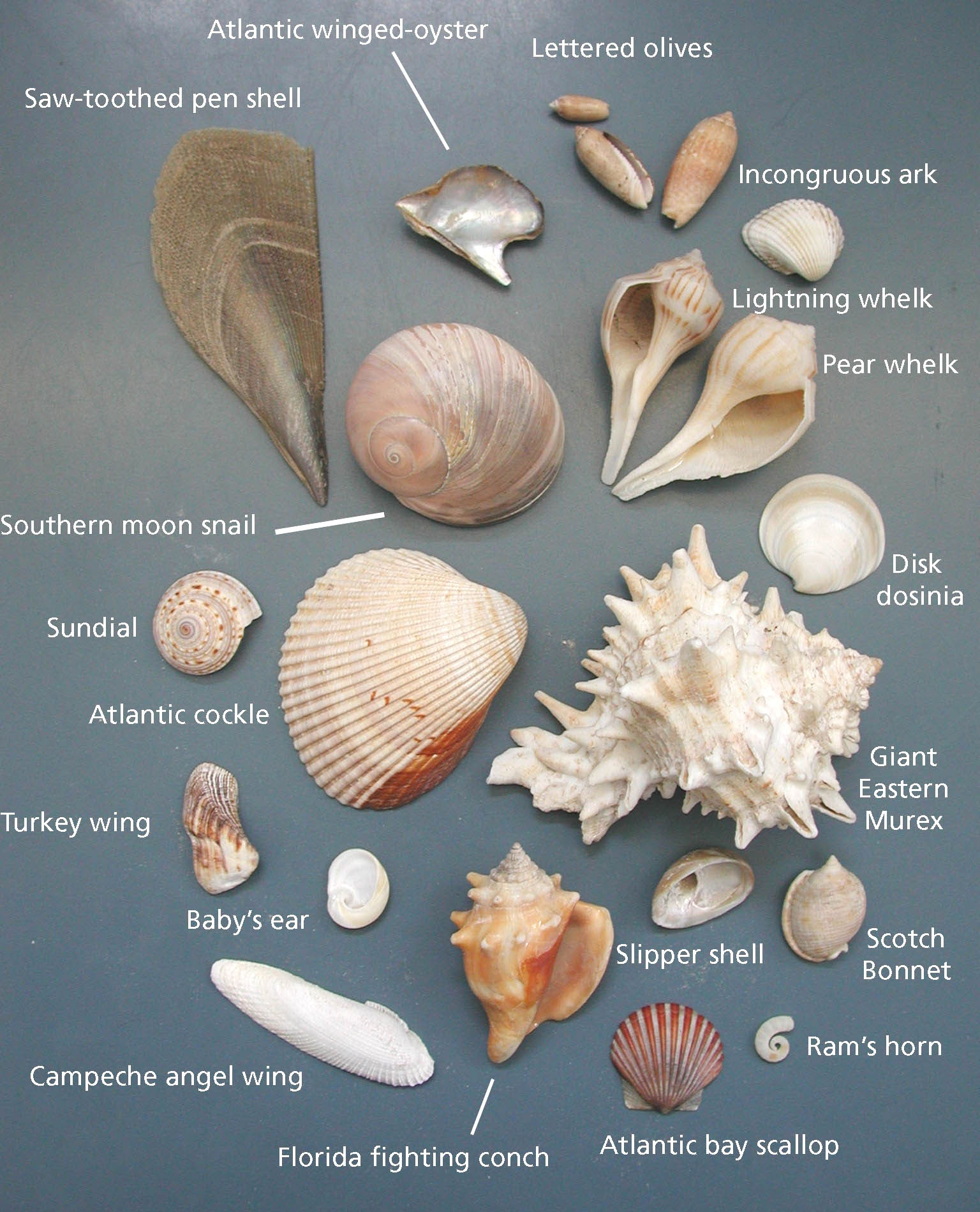 Photo gallery u s national park service - Types of seashells for kids ...