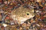 Couch's Spade-foot Toad