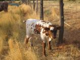 Bull Calf, Johnson Canyon