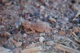 Desert Short Horned Lizard