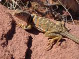 Great Basin Collared Lizard