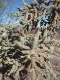 Chain-Fruit Cholla