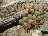 Mounds of Claret Cup Cactus