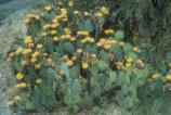Unlike some plants, the Park's cacti bloom every year. Mid-April is a good time to see the best show of Prickly Pear (Opuntia phaecantha) blossoms.
