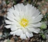 The delicate white petals of the Desert Chicory are beautifully contrasted by the bright yellow center of the flower.